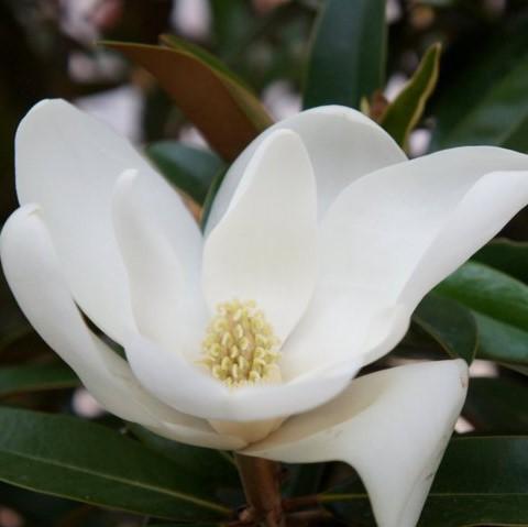 Magnolia grandiflora Alta