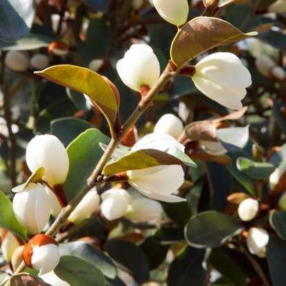 Magnolia laevifolia Gails Favourite