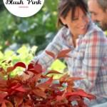 Nandina domestica Blush Pink