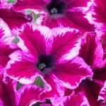 Petunia Crazytunia Cosmic Pink