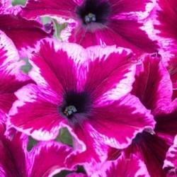 Petunia Crazytunia Cosmic Pink WEB