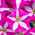 Petunia Crazytunia Pinki Frills Impr