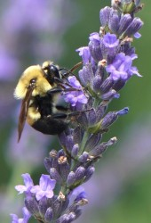Phenomenal Lavender Bee