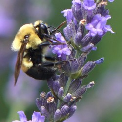 Phenomenal Lavender Bee