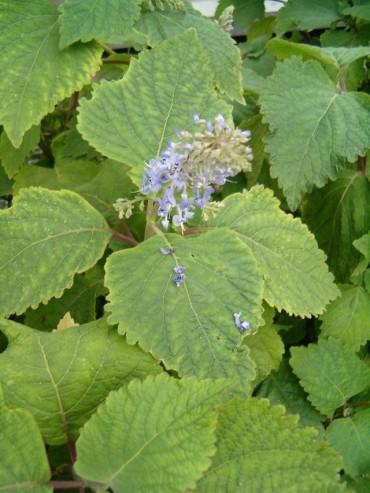 fruticosus