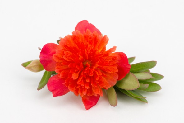 Portulacca Duna Double Scarlet