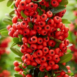 Pyracantha-Red Star__1 web