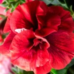 Petunia Happy Classic Double Orange