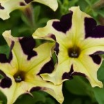Petunia Happy Magic Yellow Purple Touch