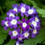 Verbena Tiara Blue Eye