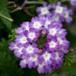 Verbena Tiara Purple Eye