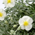 Helianthemum The Bride