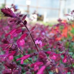 RAP_JALDETY_NOVITA'_Salvia Love and Wishes flowers