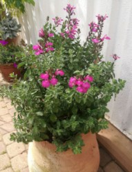 Salvia Cool Pink