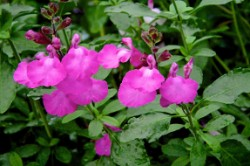 Fiore Salvia Cool Pink