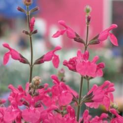Salvia Pink Pong WEB