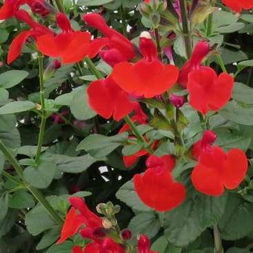 Salvia Royal Bumble WEB