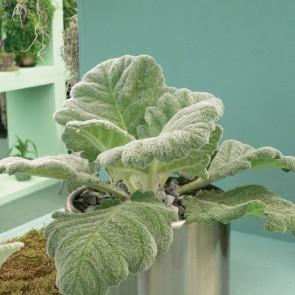 Salvia-argentea-Artemis_11981_2