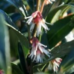 Sarcococca hookeriana Winter Gem
