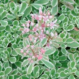 Sedum spurium variegatum