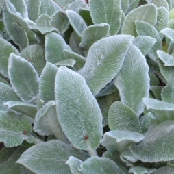 Stachys Silver Carpet