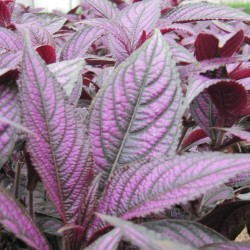 Strobilanthes_Jaldety