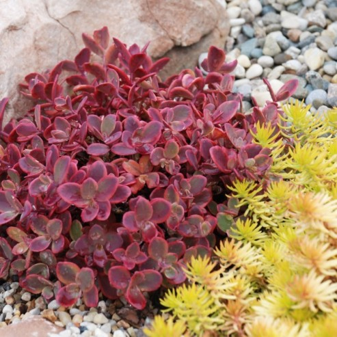 SunSparkler Sedum Wildfire