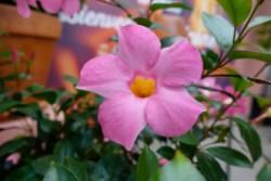 Sundaville - Mandevilla - 621 - Sunparaprero - Beauty Rose 45