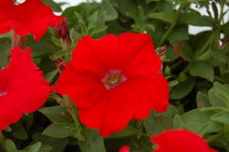 Surfinia® Red Classic Trailing