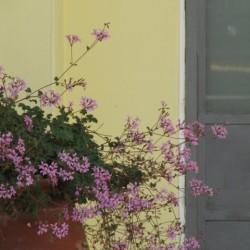 TESTATA Pelargonium pinky pinks