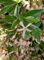 Trachelospermum asiaticum Star of Milano ('TRSUZ01'PBR)_x