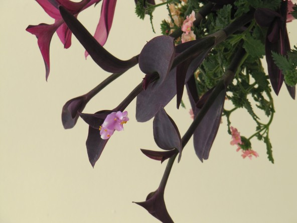 Tradescanthia