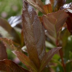 Viburnum Coppertop_3