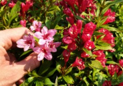 Weigela Picobella Rosa + Picobella Rosso_x