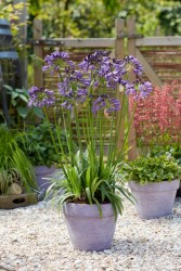 agmp003 Agapanthus-Poppin Purple_Patio