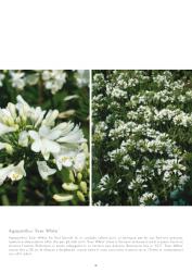 bookmood Agapanthus Ever White