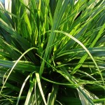 Carex EverColor Everdi