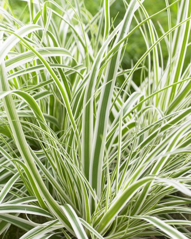 Carex EverColor Everest