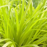 Carex EverColor Everillo
