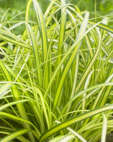 Carex EverColor Eversheen