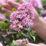 Escallonia leavis Pink Elle