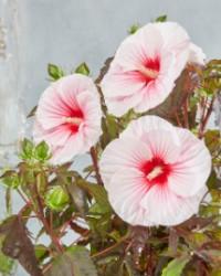 hi201212 Hibiscus-Carousel Pink Candy_Flower