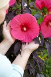 hi201216 Hibiscus-Carousel Pink Passion_Close up flower