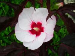hi201256 Hibiscus-Jolly Heart_Close up flower