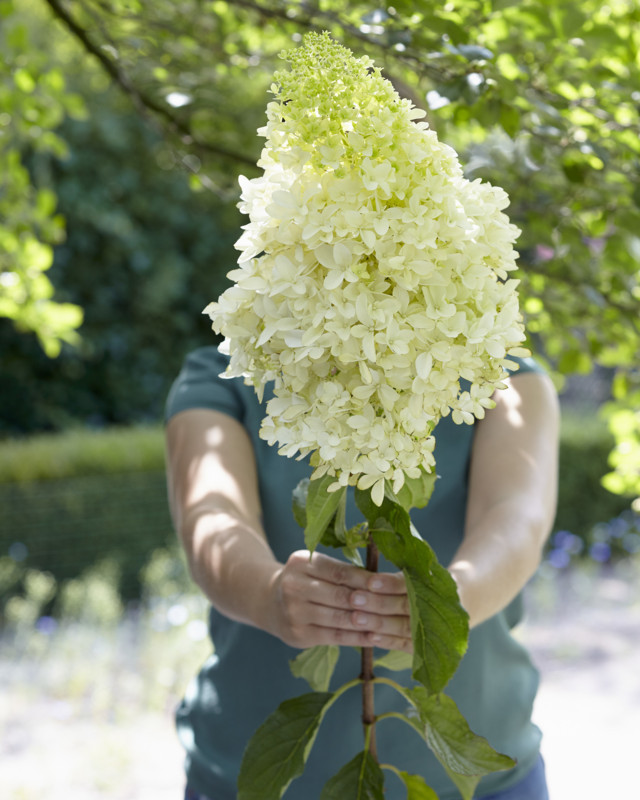 hypfenn Hydrangea-Skyfall_Flower WEB