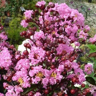 Lagerstroemia Rapsody in pink