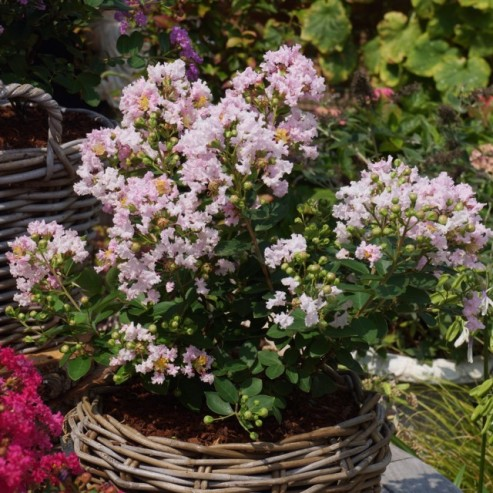 Lagerstroemia LOVE Babe