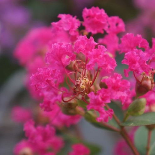 Lagerstroemia LOVE Kiss