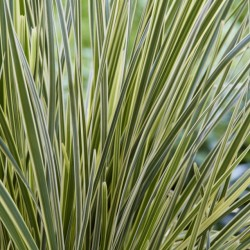 loplat Lomandra-White Sands_Close up foliage#2 WEB_2