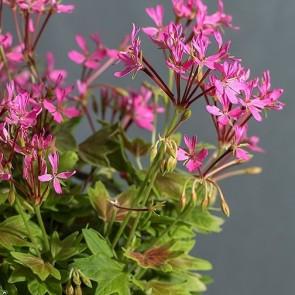 lotusland WEB